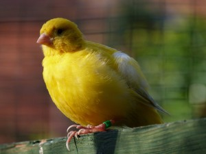 "A canary — as in ""the canary in the coal mine"""